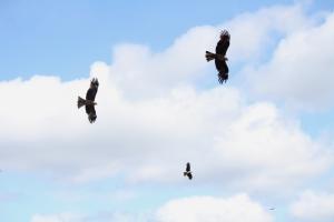 Kamogawa's Eagles